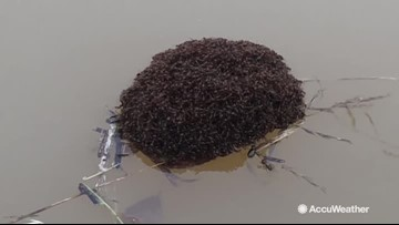 Reed Timmer spots fire ant raft on swollen, flooded river
