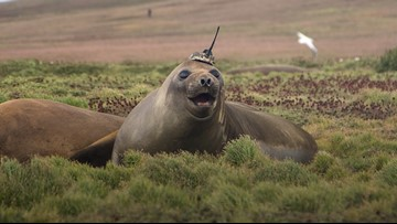 Sensor-Wearing Seal Gathers Surprising Deep-Sea Data for NASA