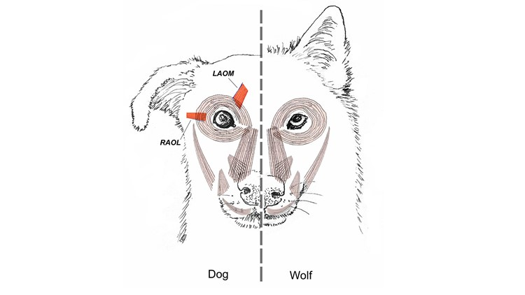 Dog wolf facial muscles