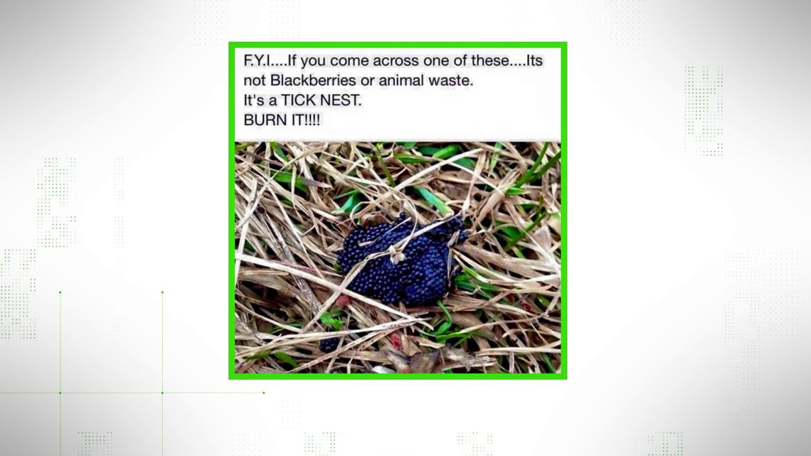 VERIFY: Does this photo show a nest of tick eggs?