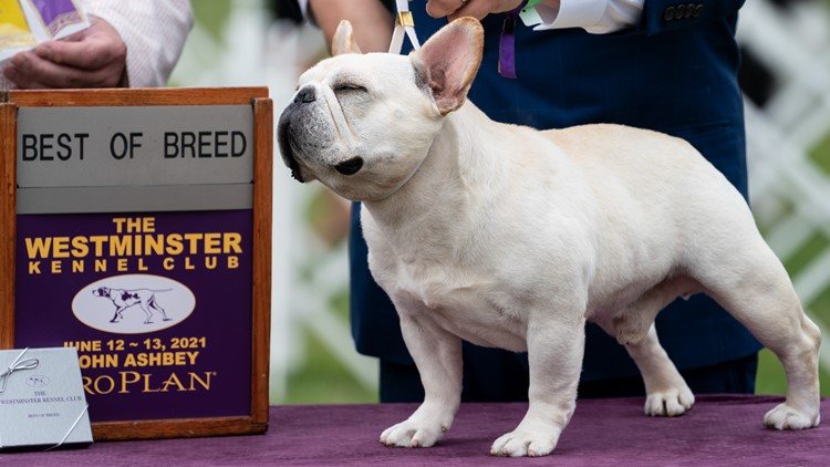 'It's always exciting': Top dogs vie for 2021 Westminster title