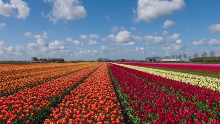 A tulip field is opening the San Antonio area next spring