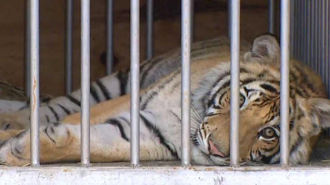 Linda McIngvale, wife of Jim 'Mattress Mack' McInvgale, confirms she helped arrange tiger surrender