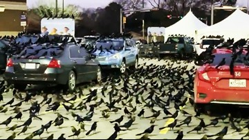 Thousands of grackles are taking over Houston's parking lots — again