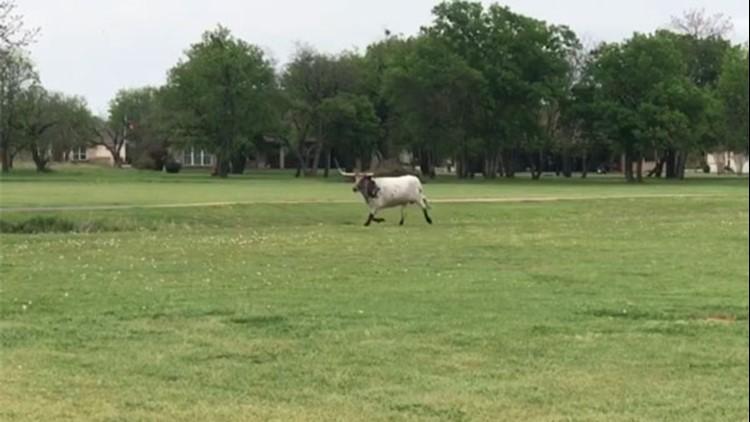That's so Texas: Longhorn roams North Texas golf course