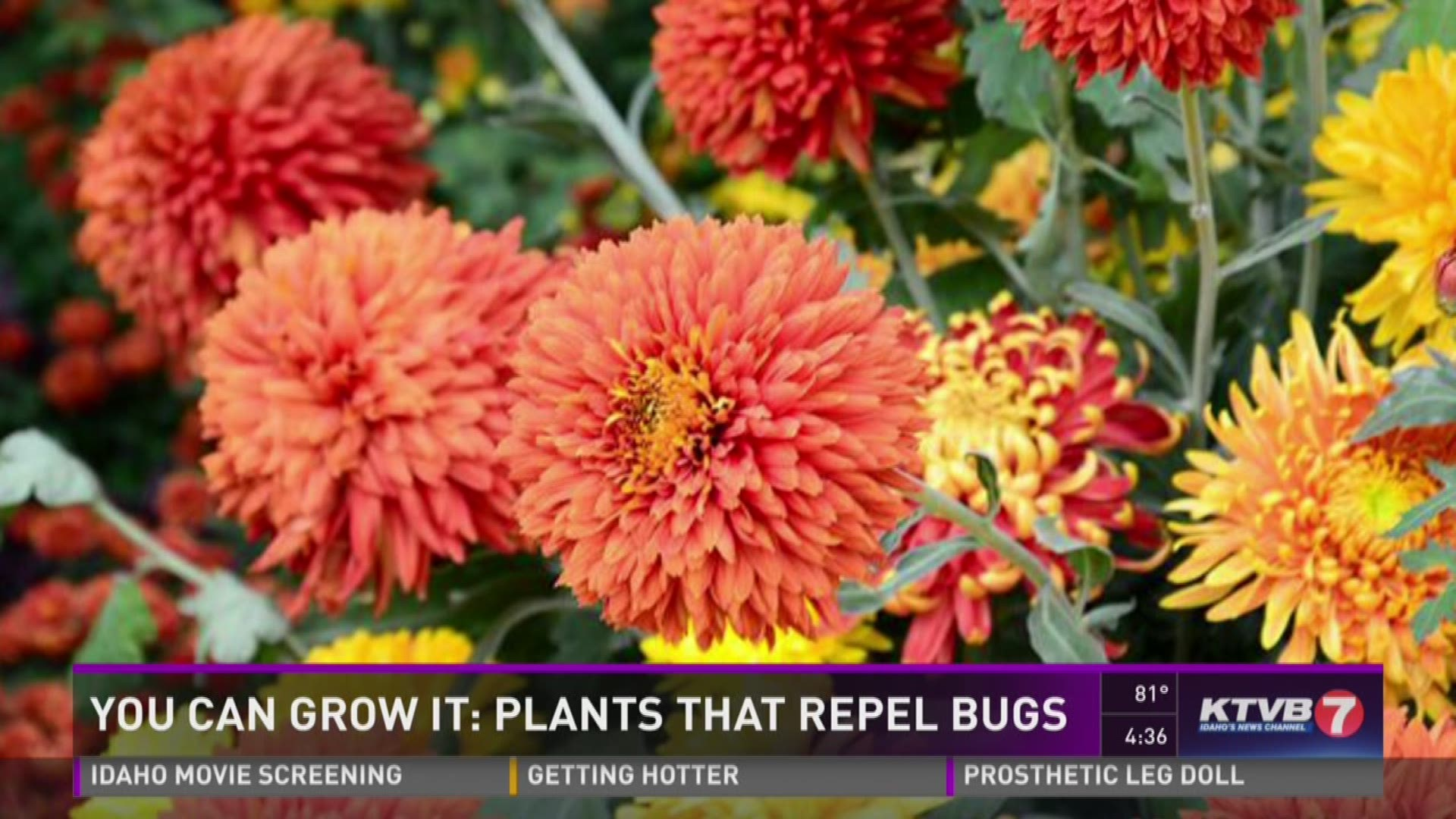 9 Plants That Bug Bugs Including Mosquitoes Wfaa Com