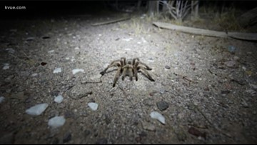 Watch your step: Fist-sized tarantulas spotted on hiking trails in Austin