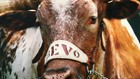 Even after his death, Longhorns mascot Bevo XIV could save lives, UT Austin researchers say
