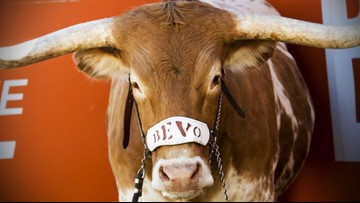 VERIFY: Is Bevo, Texas Longhorns' mascot, drugged during games?