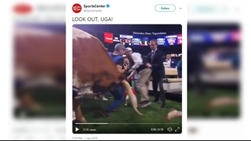 WATCH: Bevo charges Georgia Bulldogs' mascot, reporters and media scatter