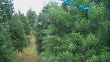 No shortage here: North Texas farm has enough Christmas trees for everyone