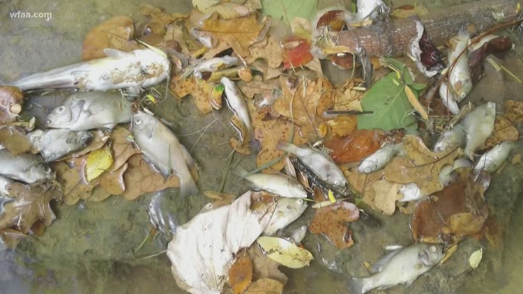Fisherman discovers 'hundreds' of dead fish at creek in Lewisville