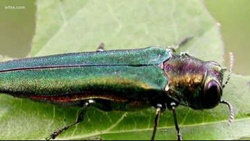 North Texas forester fears 'big outbreak' of invasive Emerald Ash Borer beetles