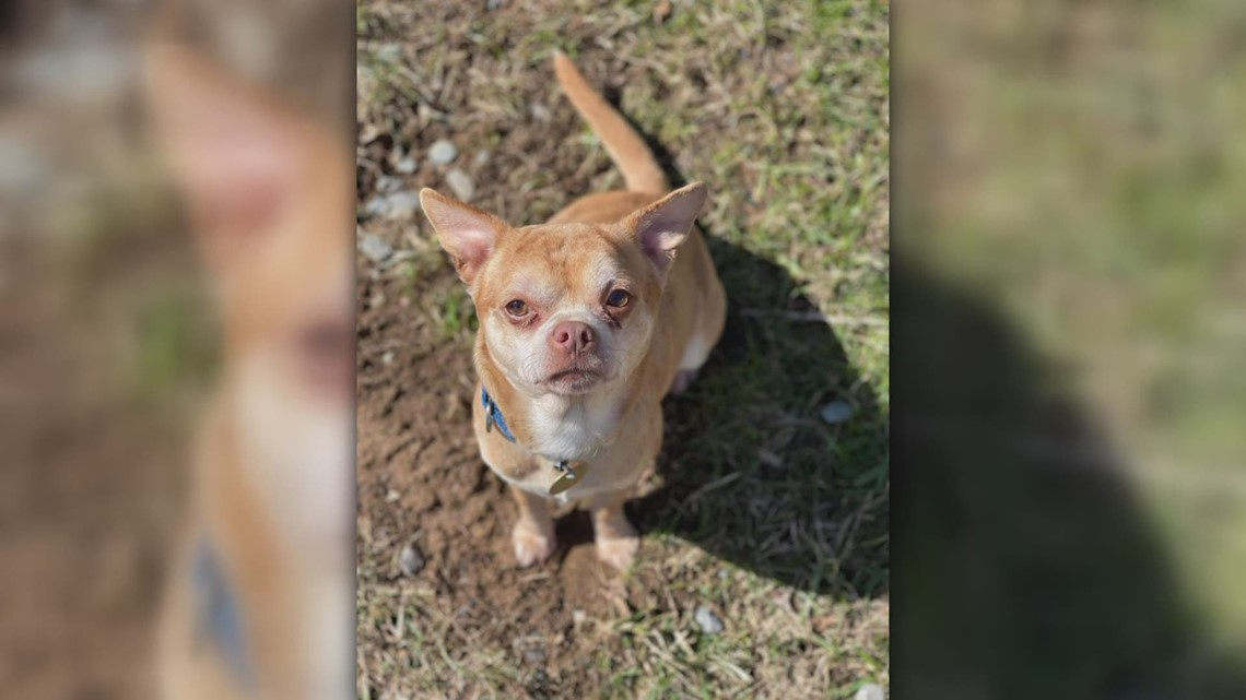 Reasons to smile: Adoption ad for 'mean chihuahua' goes viral