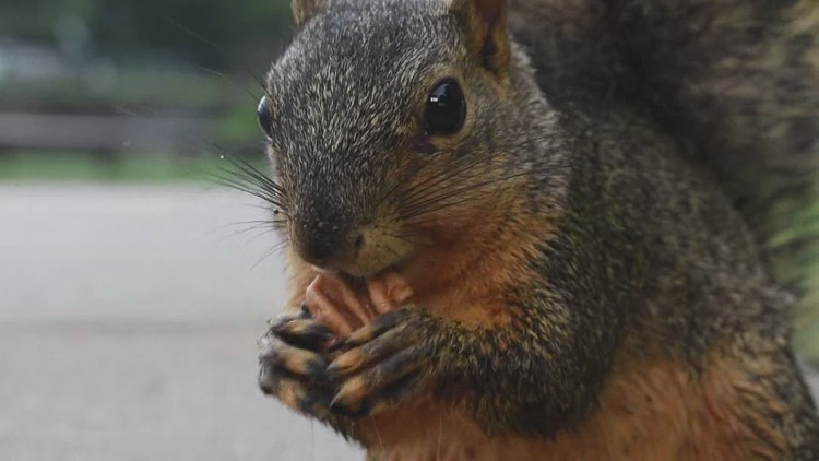 Don't feed the squirrels: Pandemic hobby leads to courageous critters at Arlington park