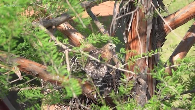 Wfaa Com Red Tailed Hawk Nest And Eggs Halt Hospital