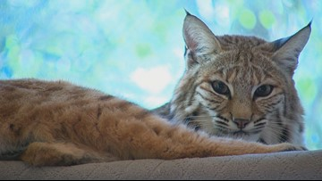 Meet Gypsy and Monaco, the bobcats living with a North Texas couple