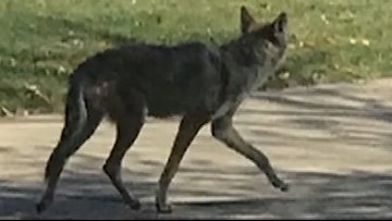 Frisco residents on edge after aggressive coyote sightings