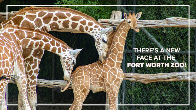 Meet 'Lucchese', the newest giraffe at the Fort Worth Zoo