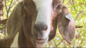 Denton's newest landscapers are eating their way through a park, with donkeys providing security