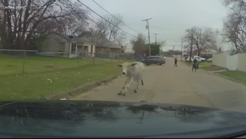 Runaway cow 'Daisy' leads police on truly Texas chase