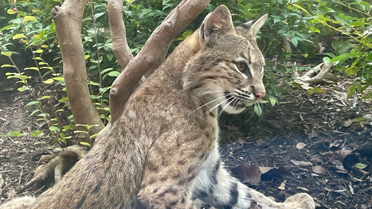 'Oh hi, mama kitty!': Woman in Richardson surprised a bobcat family chose her backyard as a den