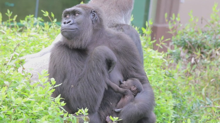 Megan the gorilla with her newborn at the Dallas Zoo
