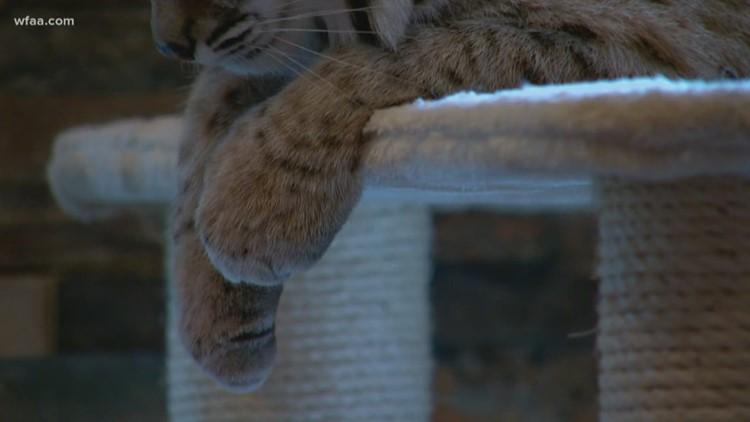 North Texas Couple Keeps Bobcats As Pets Wfaacom