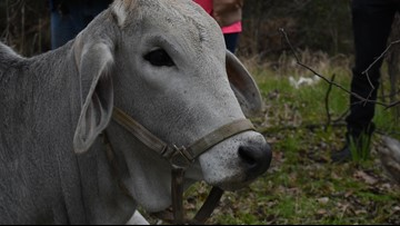 Runaway cow safe after leading Fort Worth officers on chase