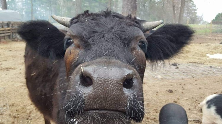 Blackbean the stray steer was found, sold and killed — a violation of Texas' 'Cattle Law'