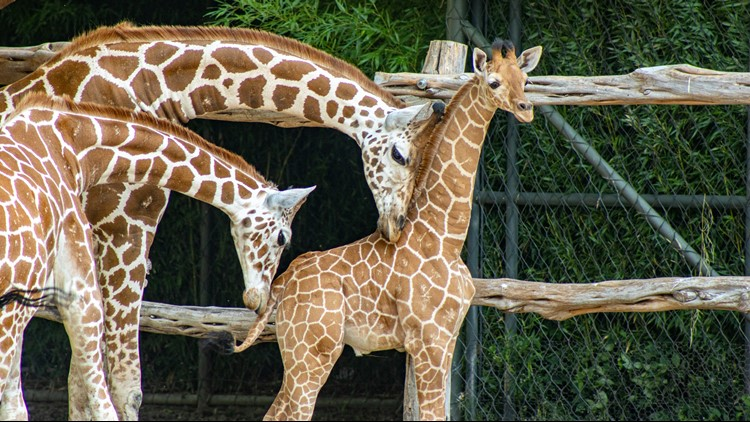 Fort Worth Zoo reveals name of newest baby giraffe