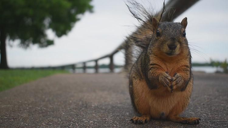 Raw video: Squirrels at Bowman Springs Park in Arlington