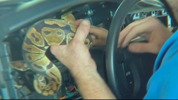Plano mechanic removes ball python from inside dash panel of truck