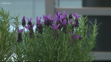 These herbs love the Texas heat