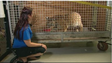 Rescued tiger gets new home in North Texas