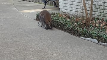 'Is that a kangaroo?' Dallas couple encounters wallaby during morning walk