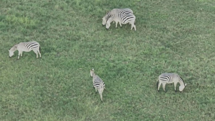 Zebras on the loose in Maryland being lured to enclosure, animal control says